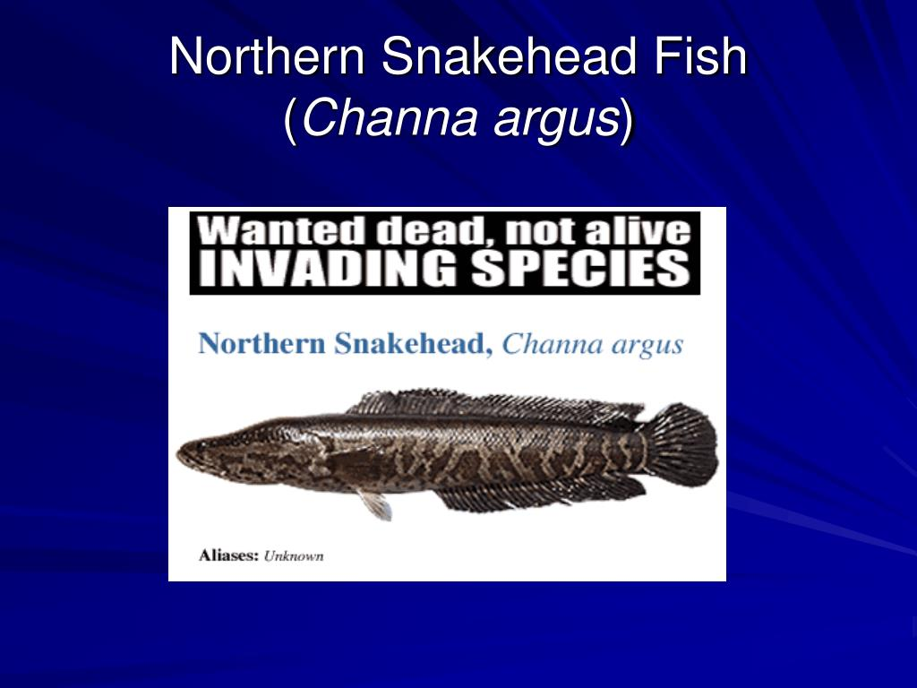 northern snakehead fish channa argus l.