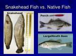 snakehead fish vs native fish