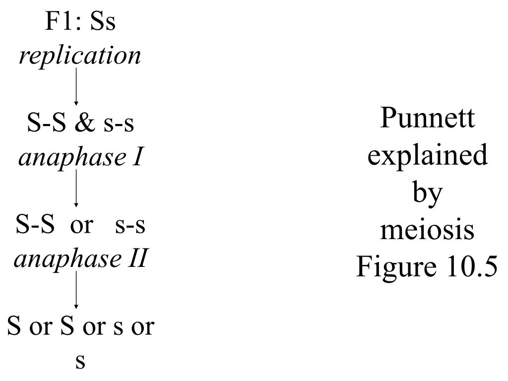 Punnett explained