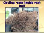 circling roots inside root ball