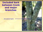 included bark between trunk and major branches