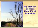tip dieback on more than 5 of branches