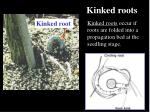 kinked roots