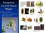 symptom leaf shoot blight