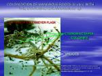 colonization of mangrove roots in vitro with the cyanobacteria microcoleus sp