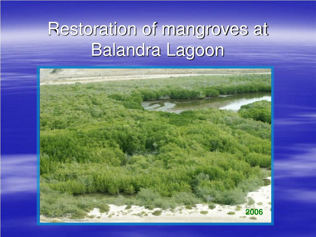 restoration of mangroves at balandra lagoon l.