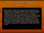 azalea leafminer caloptilia azaleella