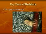 key pests of buddleia