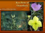 key pests of oenothera