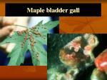 maple bladder gall