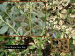 pests of cotoneaster