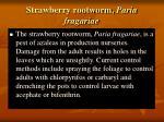strawberry rootworm paria fragariae