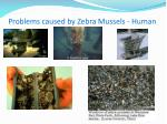 problems caused by zebra mussels human