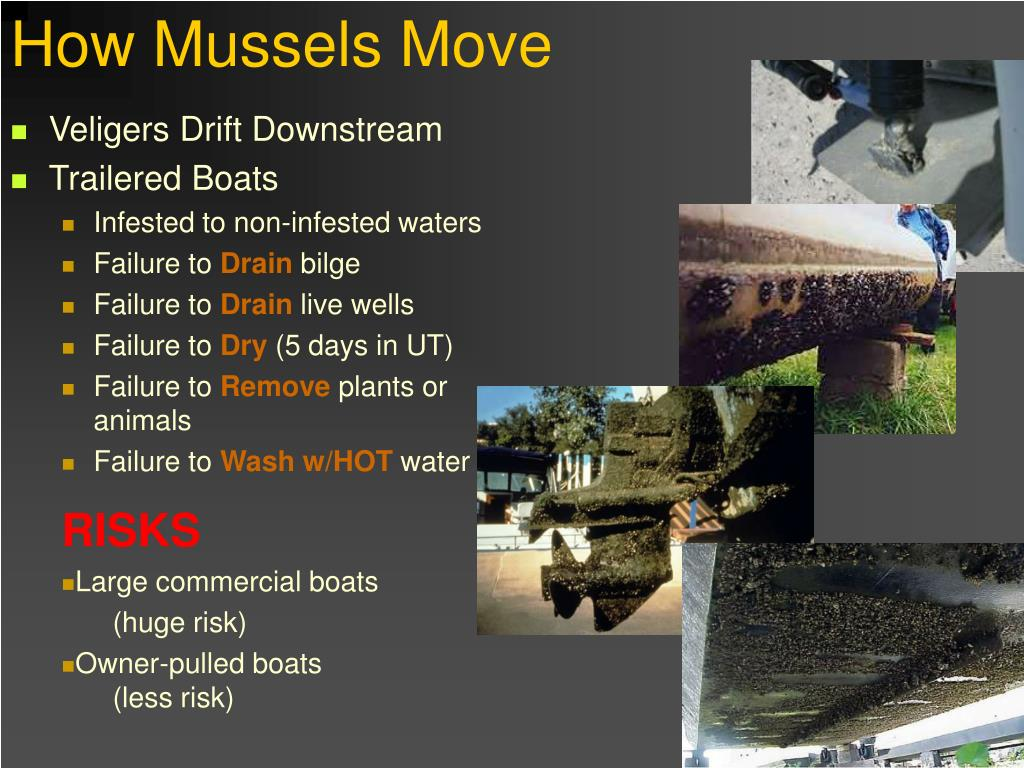 How Mussels Move