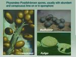 physarales purplish brown spores usually with abundant and conspicuous lime on or in sporophore