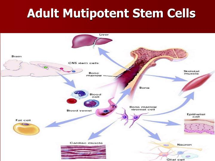 Adult Mutipotent Stem Cells