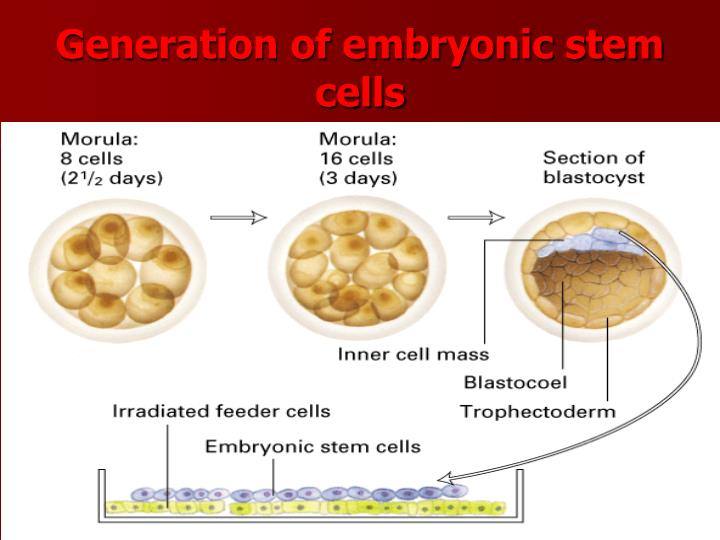 Generation of embryonic stem cells