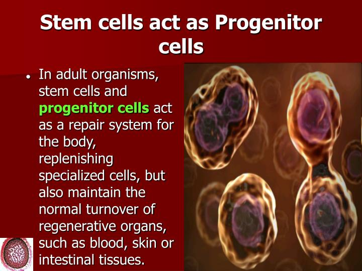 Stem cells act as Progenitor cells