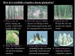 how do i establish a bamboo shoots plantation