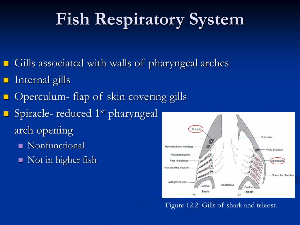 Ppt comparative anatomy respiratory system powerpoint for Arches related to breathing gills in fish