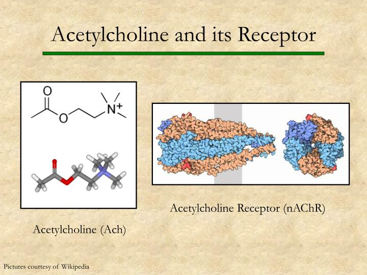 Acetylcholine and its Receptor