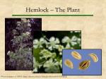 hemlock the plant
