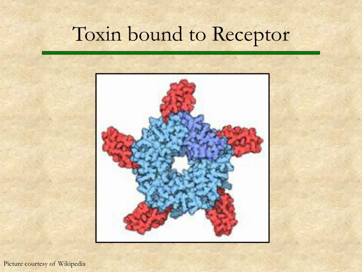 Toxin bound to Receptor
