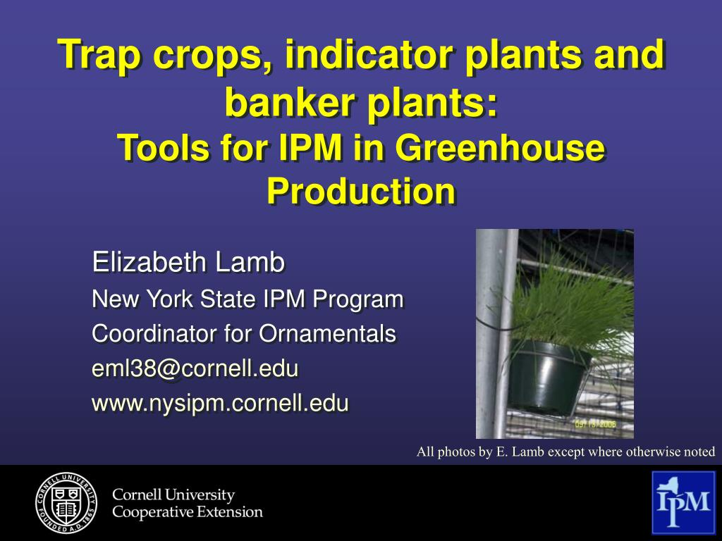 trap crops indicator plants and banker plants tools for ipm in greenhouse production l.