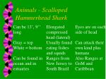 animals scalloped hammerhead shark
