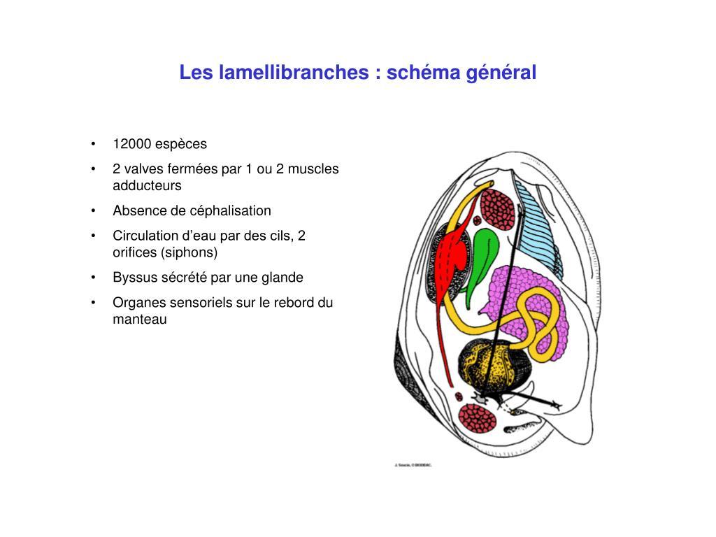 Les lamellibranches : schéma général