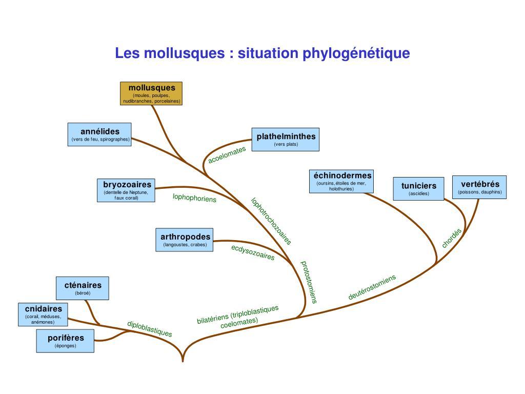 Les mollusques : situation phylogénétique