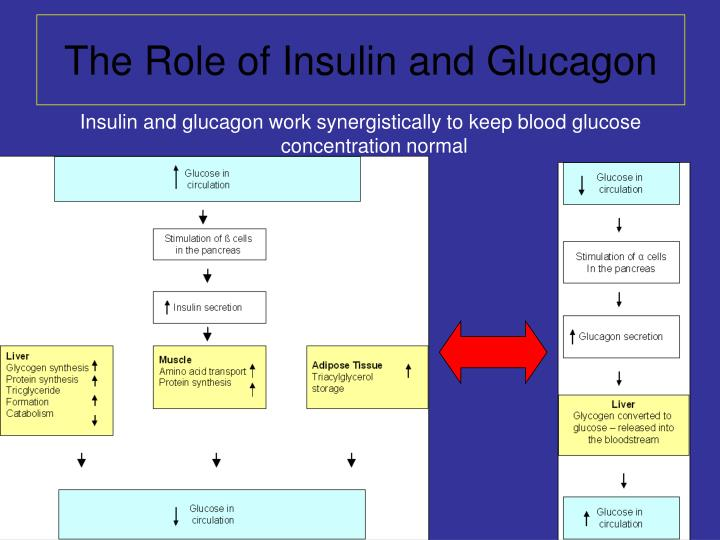 insulin to glucagon concentration ratio essay Insulin promotes cellular uptake of potassium and insulin administration may cause an ecf potassium deficit potassium shifts from the icf to the ecf in conditions such as diabetic ketoacidosis, in which the increased hydrogen ion concentration in the ecf causes h+ to shift into the cell in exchange for potassium.