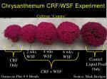 chrysanthemum crf wsf experiment