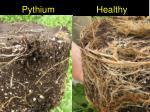 pythium healthy