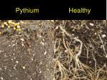 pythium healthy31