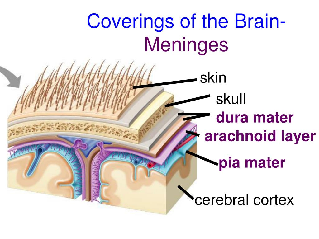 Coverings of the Brain-