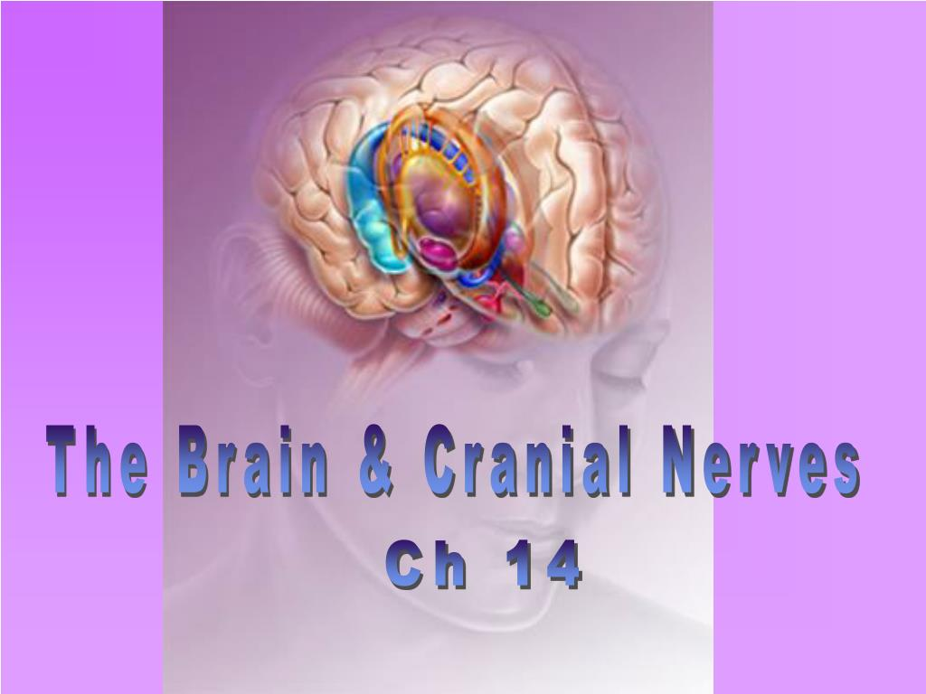The Brain & Cranial Nerves