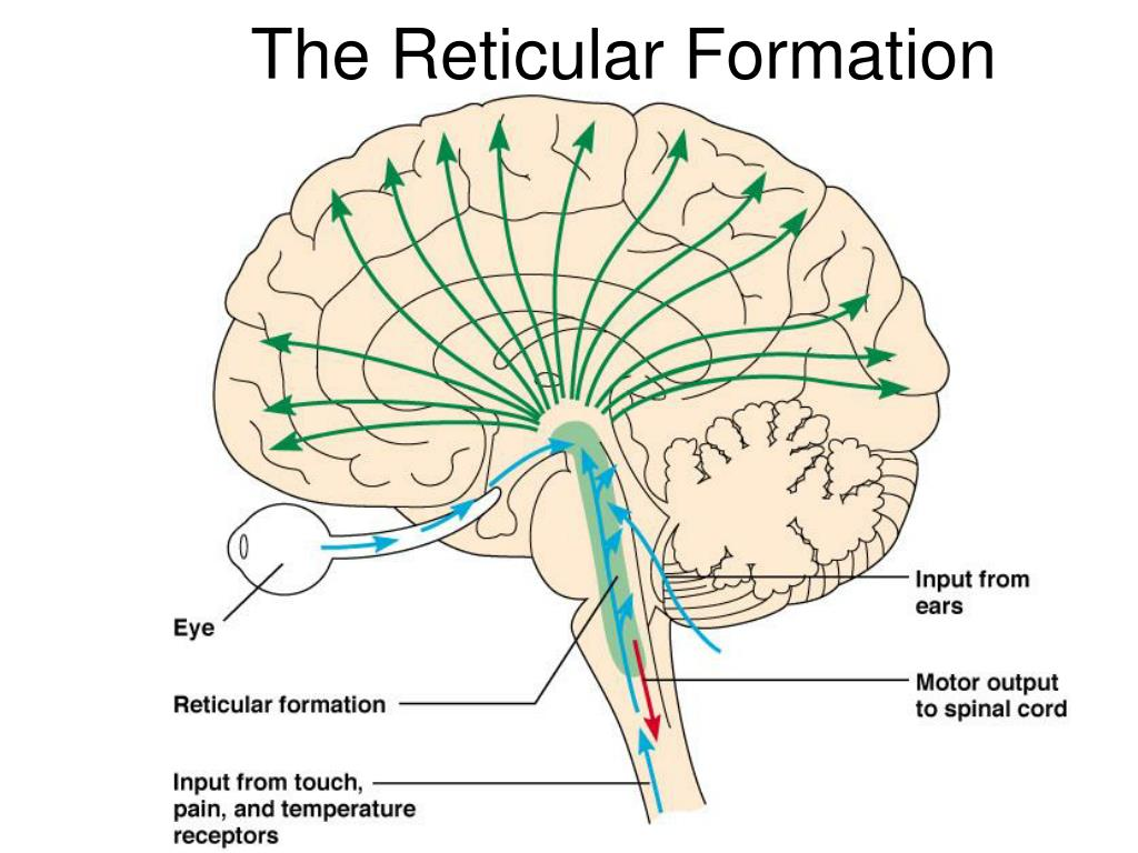 The Reticular Formation
