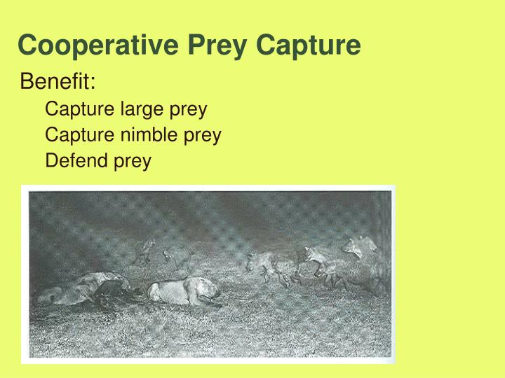 Cooperative Prey Capture