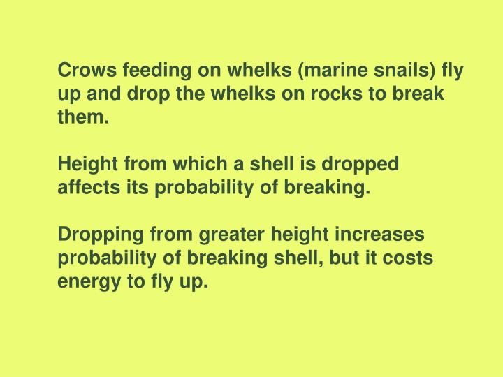 Crows feeding on whelks (marine snails) fly up and drop the whelks on rocks to break them.