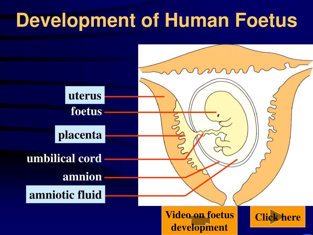 Development of Human Foetus