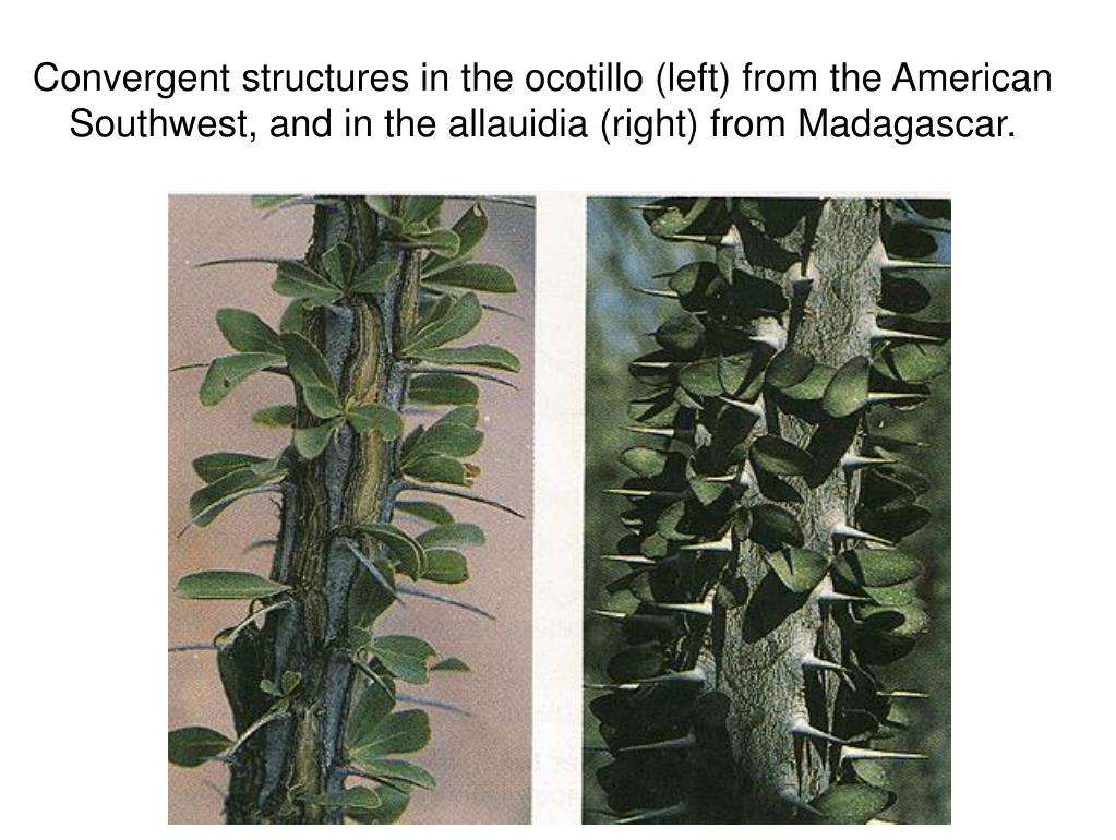 Convergent structures in the ocotillo (left) from the American Southwest, and in the allauidia (right) from Madagascar.