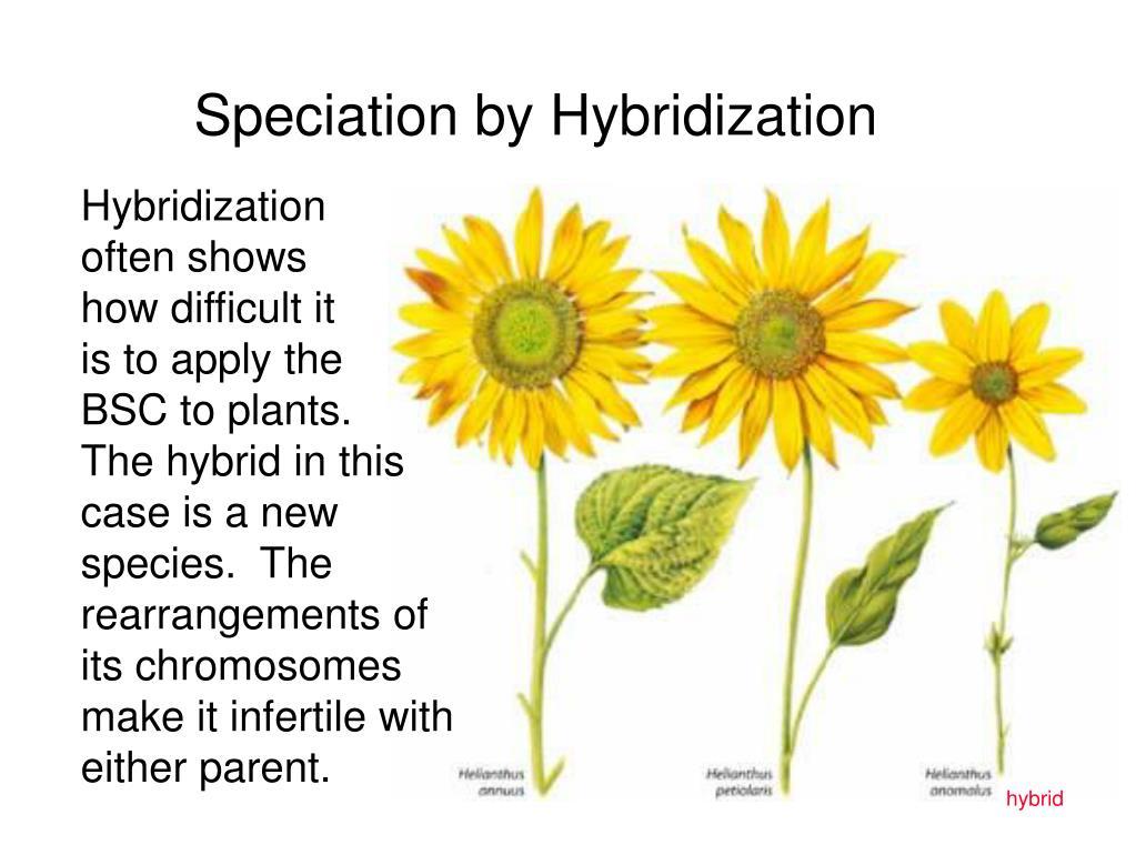 Speciation by Hybridization