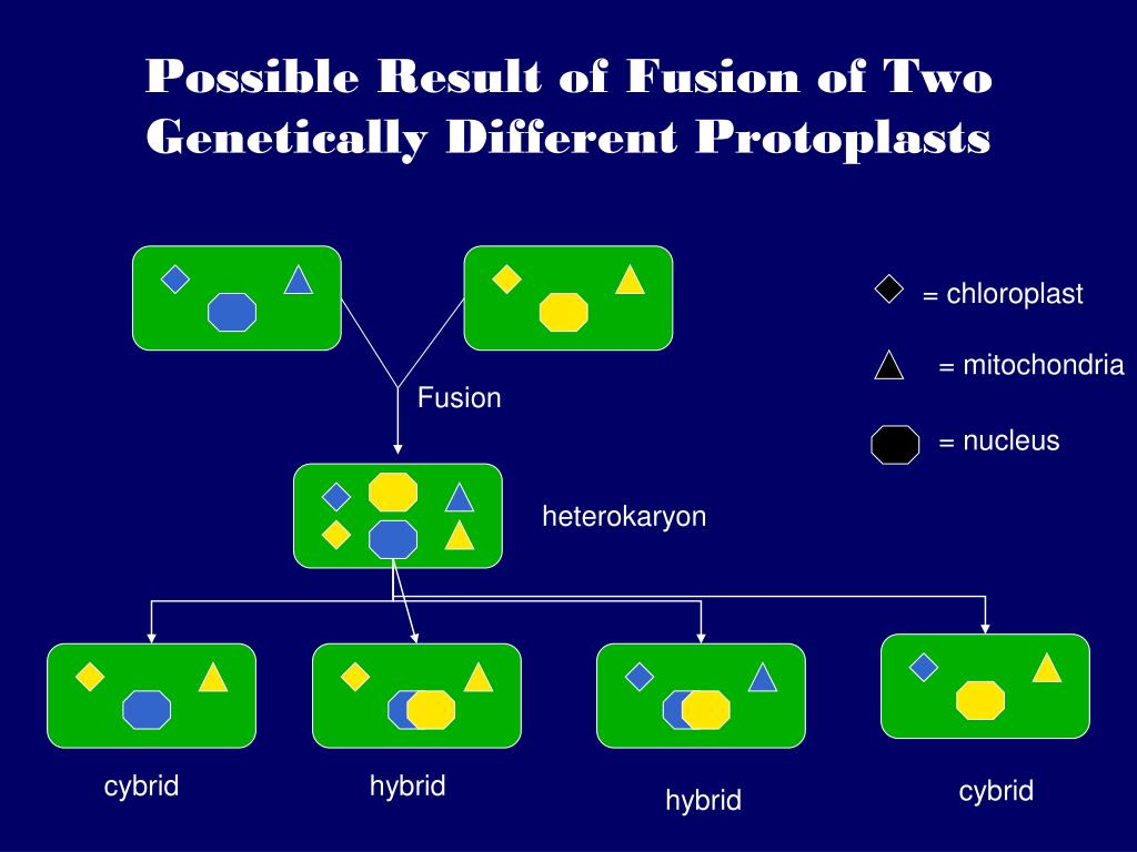 Possible Result of Fusion of Two Genetically Different Protoplasts