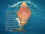 dugongs breeding