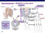 spermatogenesis meiosis to create sperm
