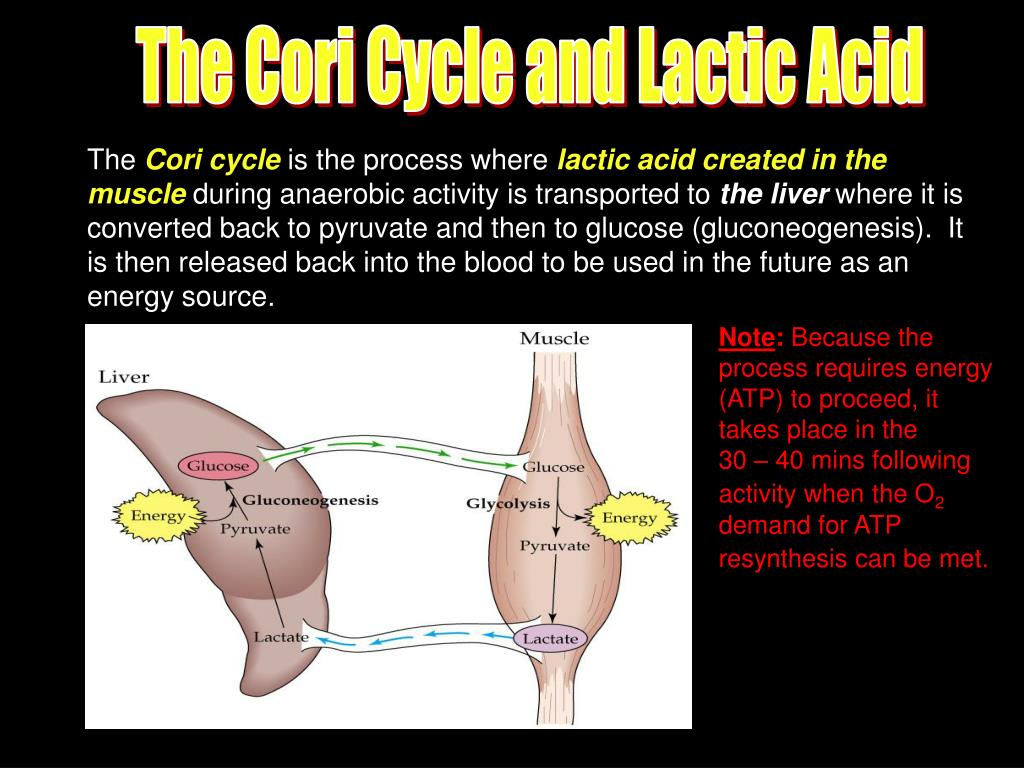 The Cori Cycle and Lactic Acid