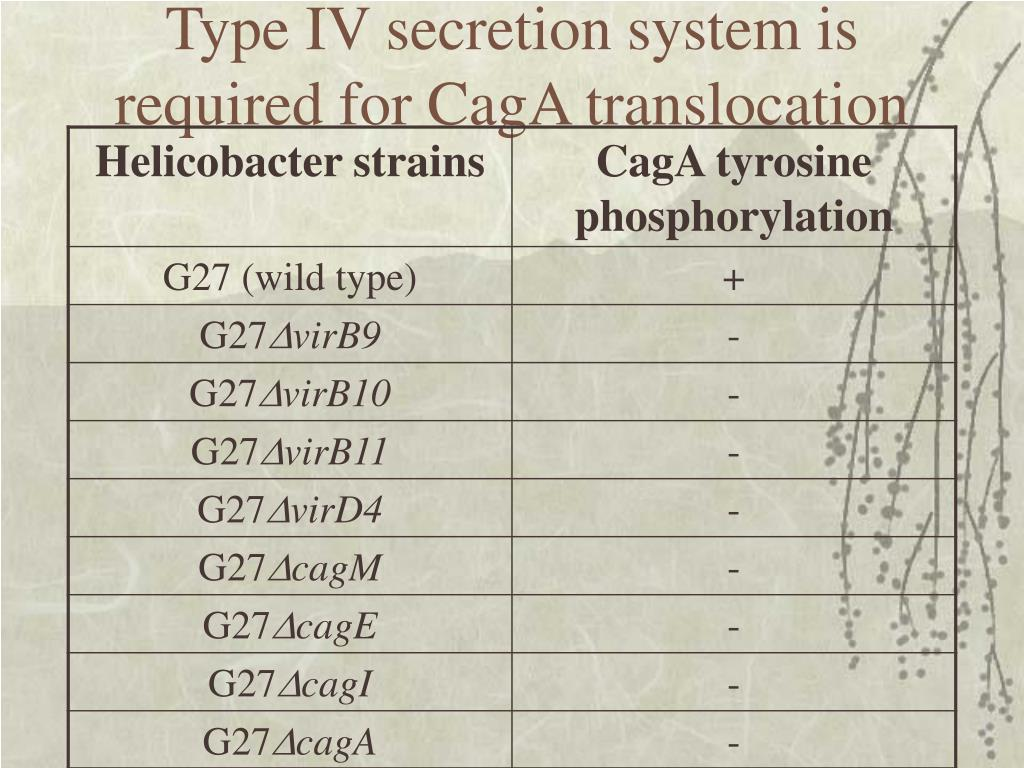 Type IV secretion system is required for CagA translocation