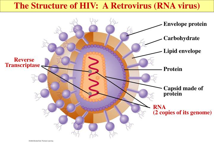 The Structure of HIV:  A Retrovirus (RNA virus)