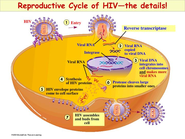 Reproductive Cycle of HIV—the details!